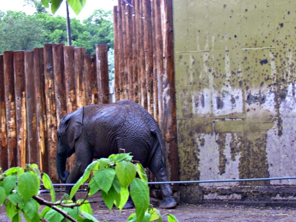 Zuri - African Elephant born at Hogle Zoo in Salt Lake City