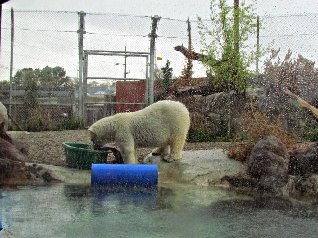Polar Bear at Hogle Zoo