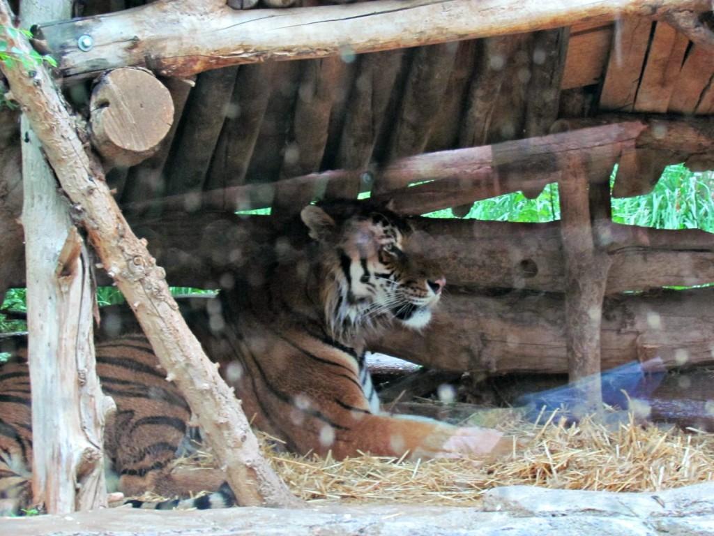Siberian Tiger at Hogle Zoo